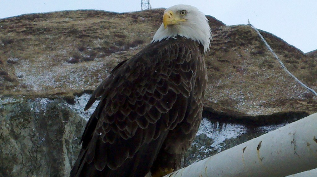 Eagle in Dutch Harbor